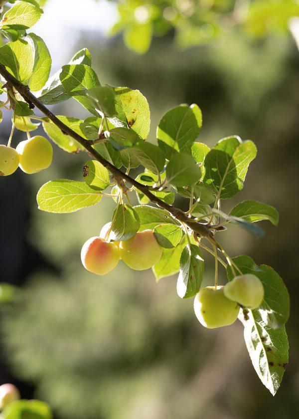 zierapfel-zieraepfelchen-wunderschoen-gemacht
