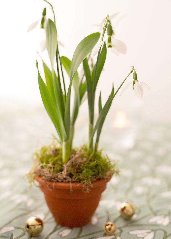 schneegloeckchen-blueten-pflanzen-wunderschoen-gemacht